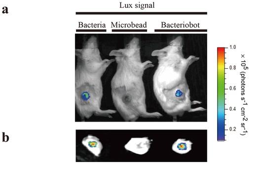 Бактерии (слева) и бактериоробот (справа) проникают в опухоль. Зёрна полистирола (посередине) - нет